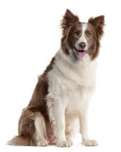 pet doctor vet herding dog