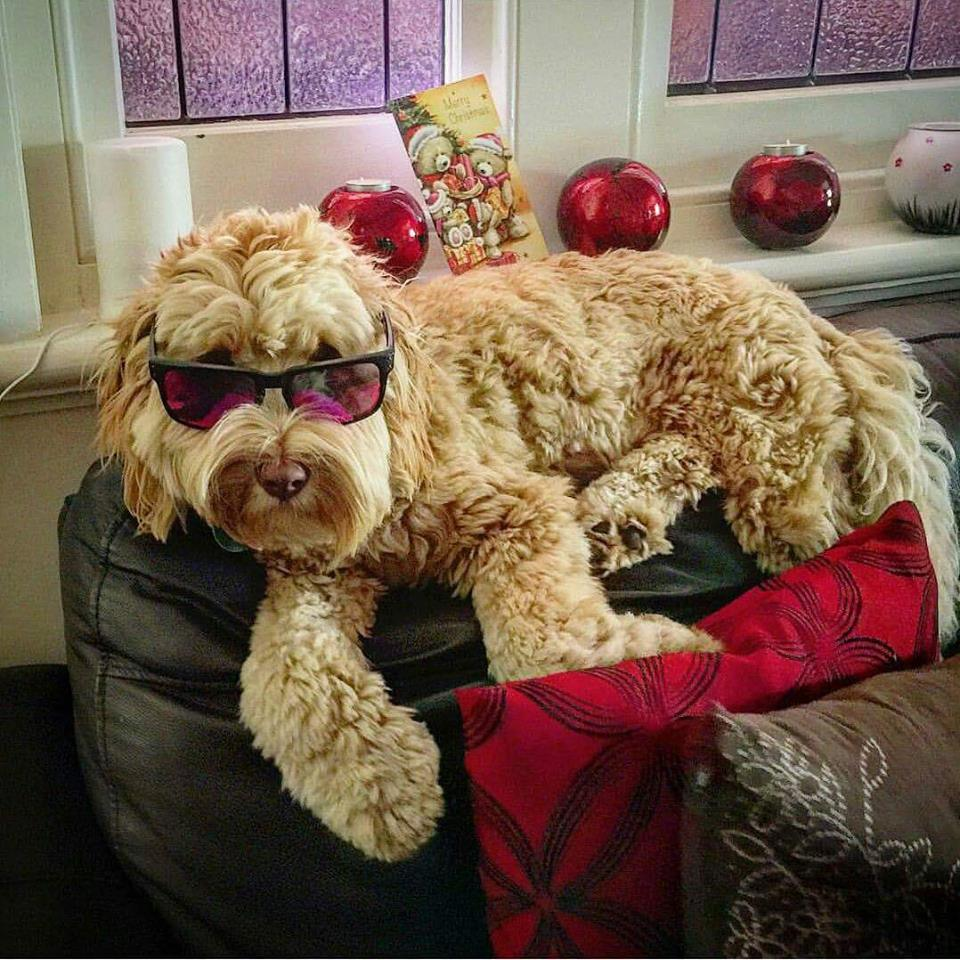fluffy dog with sunglasses on
