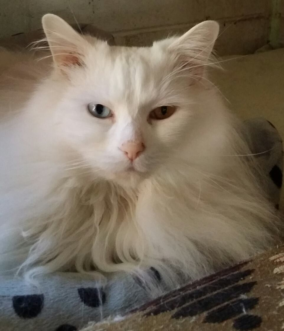 Ace the fluffy white cat