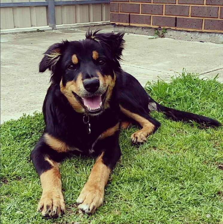 Diesel the dog in the backyard in Adelaide