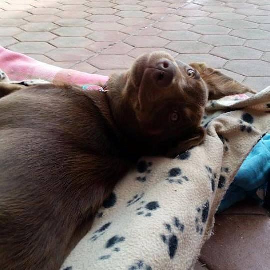 Indi the dog lying on a blanket