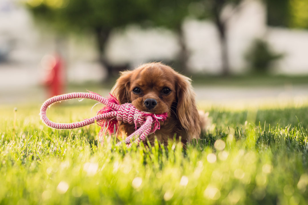 Cute dog with a red chew toy