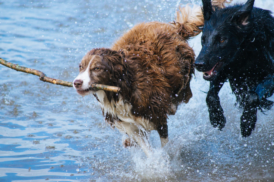 Two dogs sprinting in the ocean with a stick