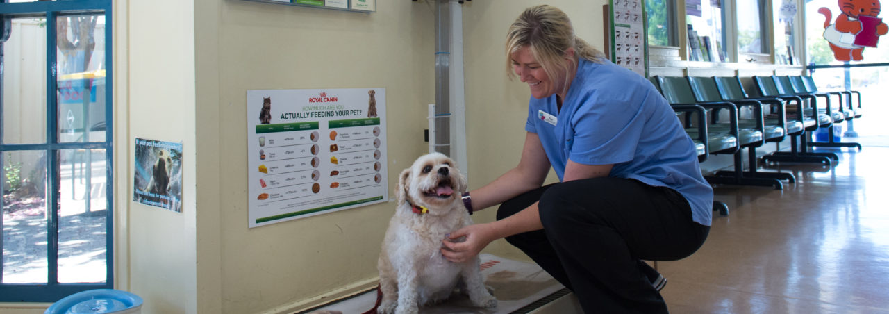 dog getting weighed in vet clinic