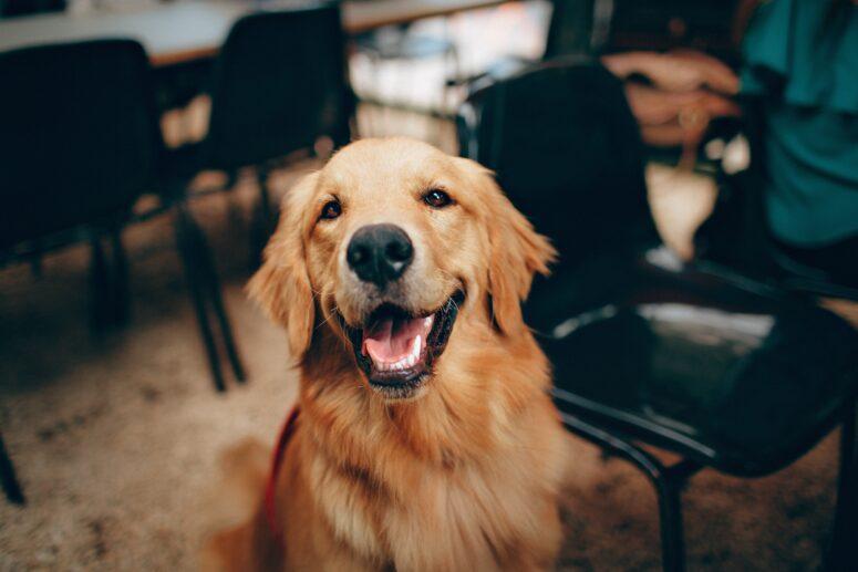 Happy Golden Retriever at Pet Doctor Vet in Adelaide